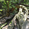 Gnarled Log (Landscape).<br /> That we came across on Mt. Kurama (Kurama-yama).