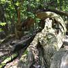 Gnarled Log (Landscape).<br /> That we came across on Mt. Kurama (Kurama-yama).