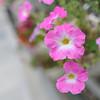 Pink Summer Flowers.