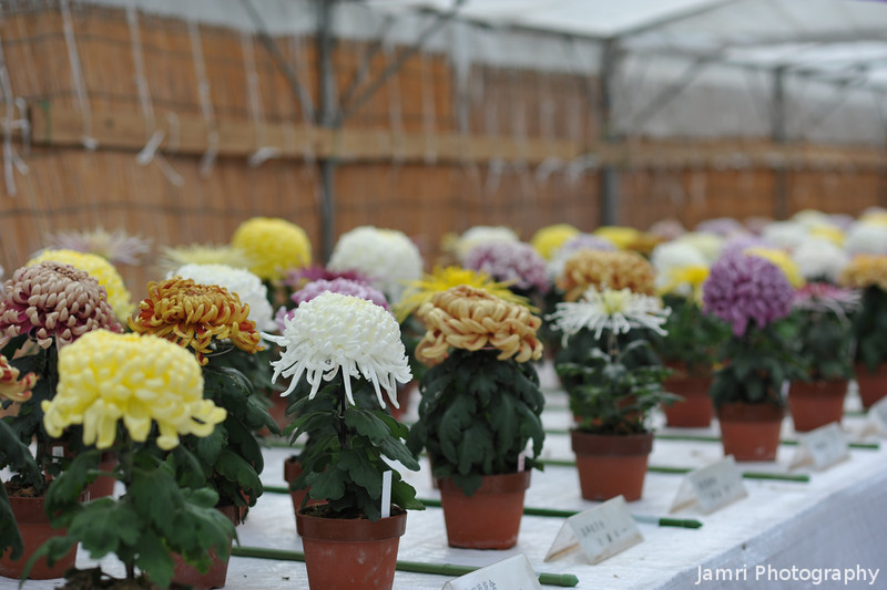 Chrysanthemums on Display.<br /> I'm not sure if this was some sort of competition or not.