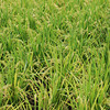 Old Fashioned Rice.<br /> This rice is the old style which has been grown here for centuries, modern rice has a lot more grains on the heads.
