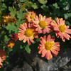 Orange Chrysanthemums.