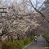 The view down the path.<br /> At the time of this photo just the Ume (peach) in blossom, about 5 weeks later all of the other trees which are Sakura (cherry) will be in bloom.