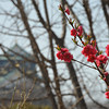 Pink Peach Blossoms and Osaka Castle.