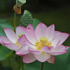 A Pair of Lotuses.<br /> At Mimuroto-ji (a Buddhist Temple) near Uji, Kyoto.