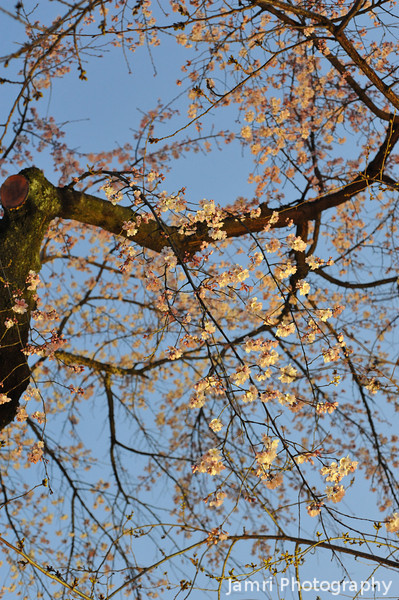 Lit up Sakura against an early evening sky.