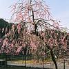 Shidare-Ume (Weeping Plum) Tree.<br /> Note Film Shot: Nikon F80 + Nikkor AF 35 f/2 + Fujicolor PRO400