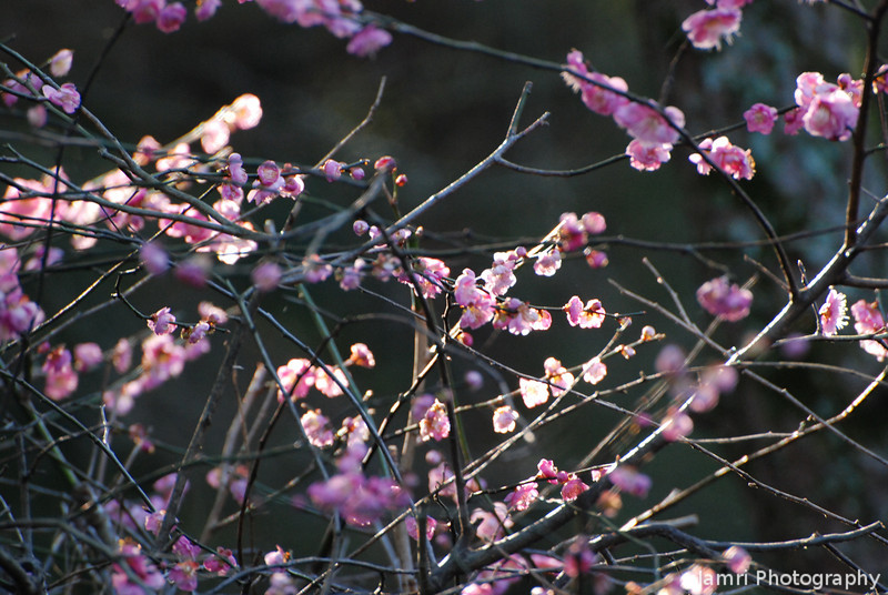 The Sunlight Shines Through.<br /> Ume (Plum) blossoms.
