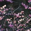 The Sunlight Shines Through.<br /> Ume (Plum) blossoms.