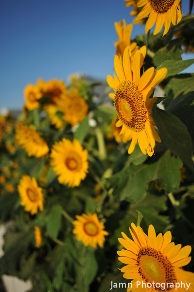 A hedge of Sunflowers.