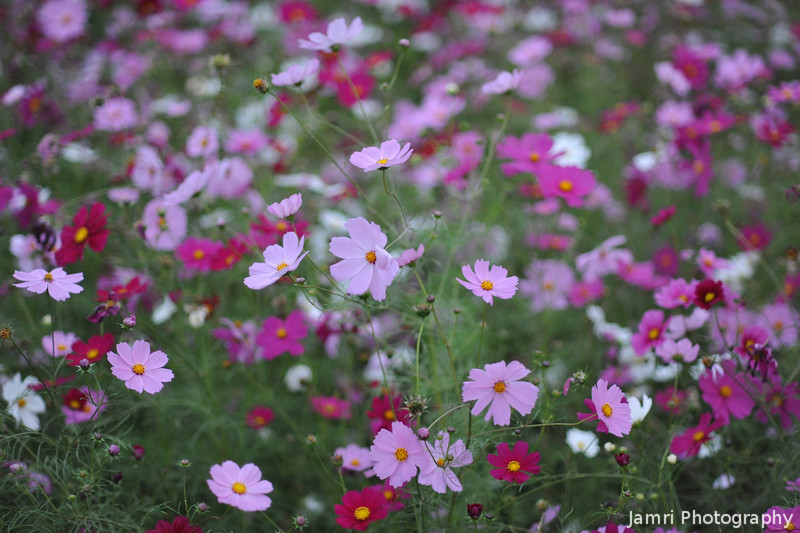 Wide Aperture / High ISO Cosmos.<br /> I love the round out focus here almost spherical.<br /> For those waiting for the sports carnival photos, probably by Wednesday next week, been pretty busy for the last few days.