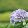 Light Purple Hydrangea.<br /> I'm quite happy with the Bokeh I'm getting here at f/2.8 on the 85f/1.8, I know the 85f/1.4s have even better bokeh but are they worth 4x (old model) and 5x (new model) the price than the 85f/1.8? I guess it's up to your needs, for my needs the 85f/1.8 is fine.