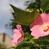Summer Bloom.<br /> Not sure what flowers these are, they are hibiscus like, but the plant is not like a hibiscus.
