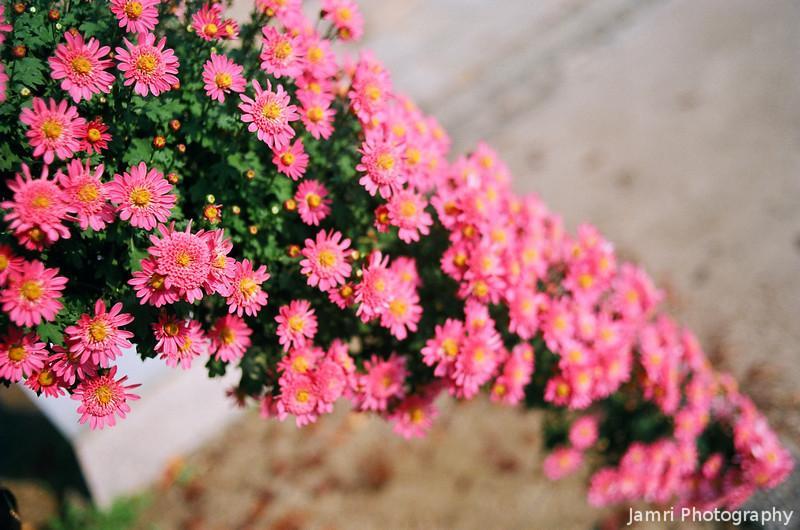 Hanging Hot Pink Chrysanthemums.<br /> Note Film Shot: Nikon F80 + 35f/2 Lens + Kodak Ektar 100