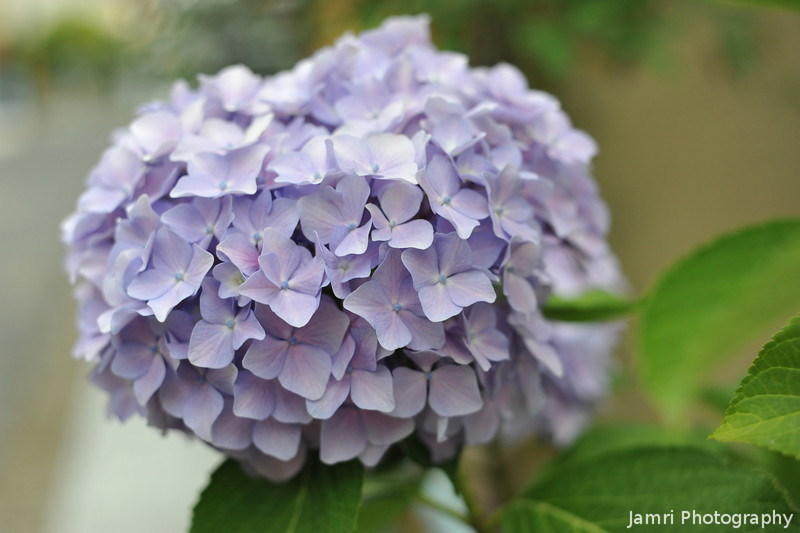 Big Ball of Purple.<br /> A Hydrangea out the front of a house on the back streets of Nagaokakyo.