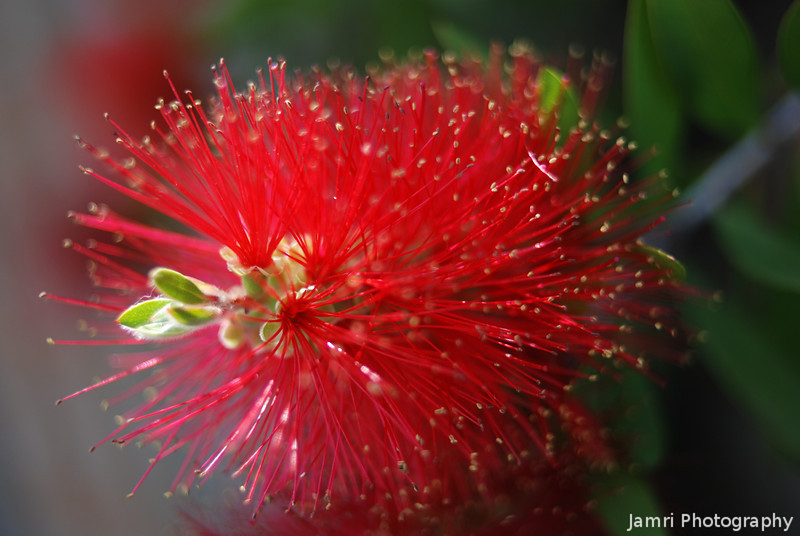 Bottle Brush Up Close.<br /> A Bottle Brush is a native Australian plant, I was very surprised to find one in Nagaokakyo.