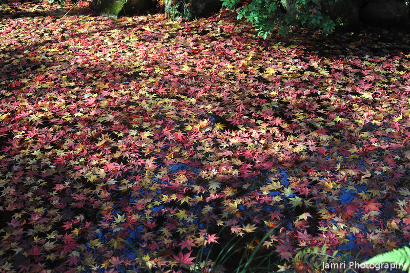 Autumn Leaves Floating in a Stream.
