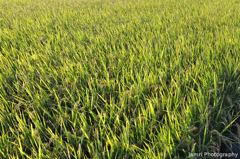 Rice in Golden Morning Light.<br /> Now with the heads of rice starting to ripen.