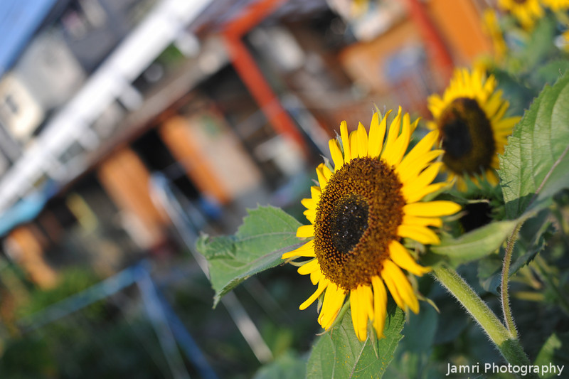 Sunflower in the Vege Patch.