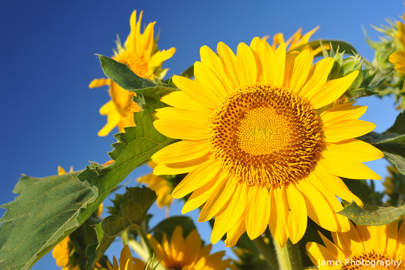 Looking up at a Sun Flower.<br /> Note: Circular Polarising Filter Used.