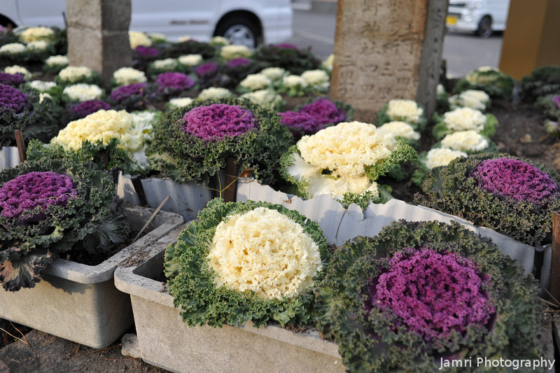Ornamental Cabbages.<br /> Near Yodo Station in Fushimiku, Kyoto City.