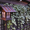 "Lantern and Creeper.<br /> In Takayama's ""Little Kyoto"" area."