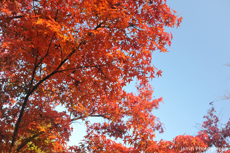 Red Maple, Blue Sky.