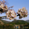 Clusters of Sakura in Arashiyama.<br /> Note Film Shot: Nikon F80 + Nikkor 35 f/2 + Fujicolor Reala ACE 100