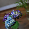 Hydrangeas and Miniature Sunflowers.<br /> Another shot from a little indoor photo session on a rainy Sunday afternoon.
