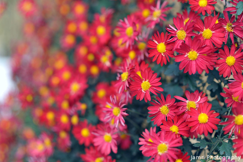 Red Chrysanthemums.<br /> In Uji.