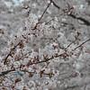 Sakura on Sakura.