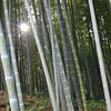 The Sun Through Bamboo.