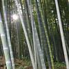 The Sun Through Bamboo.