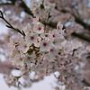 Morning Blooms.<br /> Getting closer to the Sakura in morning light.<br /> Note Film Shot: Nikon F80 + Nikkor AF 35 f/2 + Fujicolor PRO400