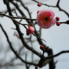 Light Pink Ume.