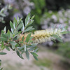 Yellow Bottle Brush.<br /> At the Kyoto Botanical Gardens.
