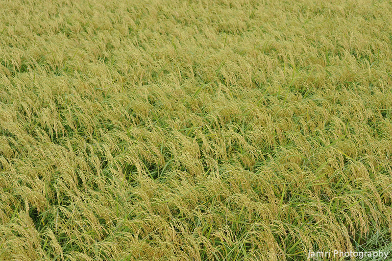 Weighed Down.<br /> The heads of all of these rice plants are weight down because of they are soaked from the rain.