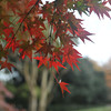 The Maples are Changing.<br /> A little later this year due to warmer weather.
