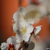 Against an Orange Background.<br /> Ume (Plum) flowers against the orange background of Nagaoka Tenmangu Shrine.