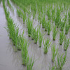 More Growth.<br /> Back at the rice field one week later.