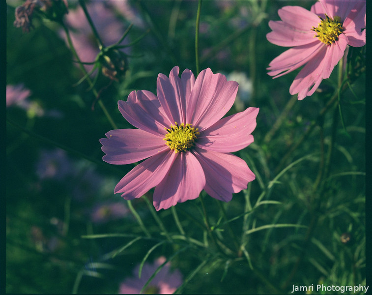 Purple Cosmos.<br /> Note Film Shot: Mamiya RB67 & Mamiya-Sekor 90mm f/3.8 Lens Fujicolor PRO400 Film.