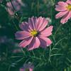 Purple Cosmos.<br /> Note Film Shot: Mamiya RB67 & Mamiya-Sekor 90mm f/3.8 Lens Fujicolor PRO400 Film.