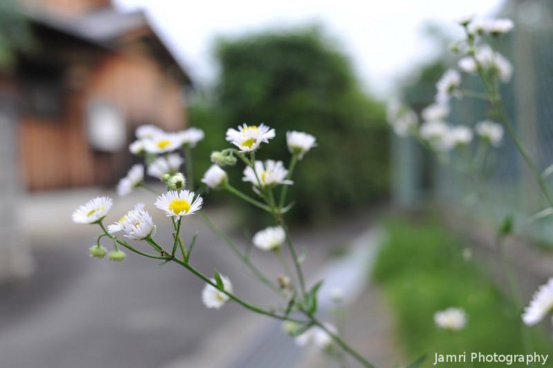 Flowers by a Little Lane.
