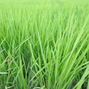 Summer Green.<br /> The rice fields are growing fast thanks to all the rain we've had lately.