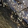 Magnolias over the Water.<br /> At the Shirakawa in Gion, Kyoto.