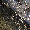 Magnolias over the Water.<br /> At the Shirakawa in Gion, Kyoto.