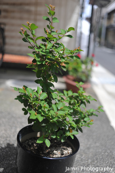 """The Plant Growing.<br /> This plant know as """"Bob's Plant"""" is experiencing a lot of growth at the moment due to the summer weather. We think we've figured out what kind of plant it is. It's a miniature sarusuberi, but it blooms about two months later than the large sarusuberi."""