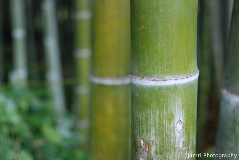 Bamboo Close Up Colour.