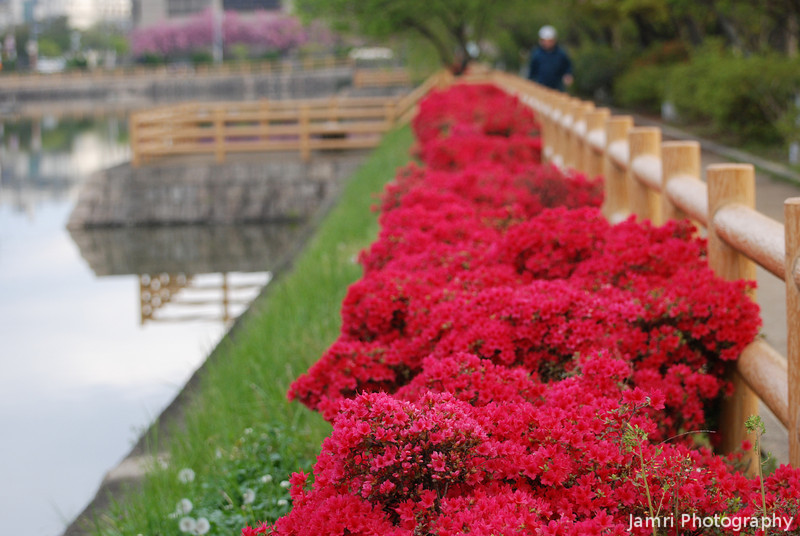 Along the Water's Edge.<br /> Azaleas at Nagaoka Tenmangu Shrine, in Nagaokakyo.