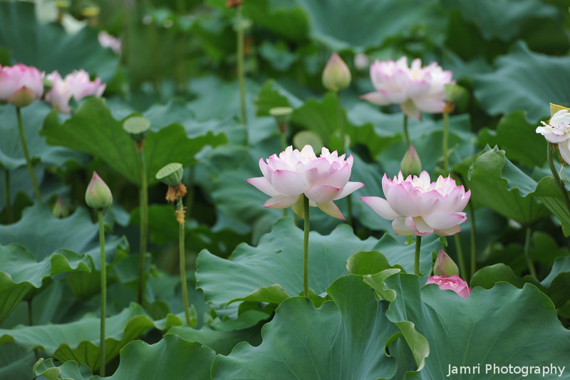 Closer to the Lotuses.